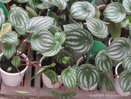 盆栽 家庭 观叶植物 认识 几个/西瓜皮椒草...