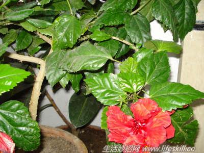 种植  2014-06-07怎样使家庭盆栽桑叶