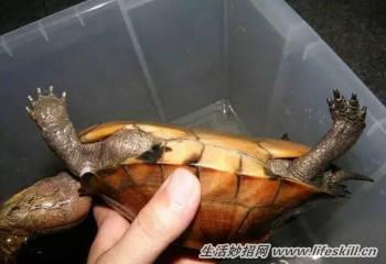 教你简单快速的分辨乌龟的公母图片